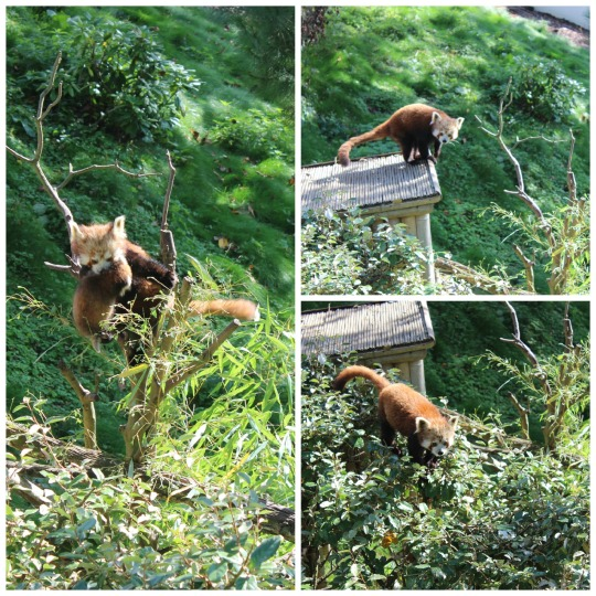 Red Panda at Paira Daiza